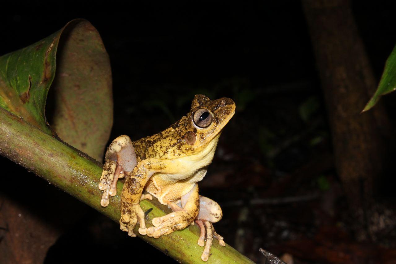 Frog of the Cerrado