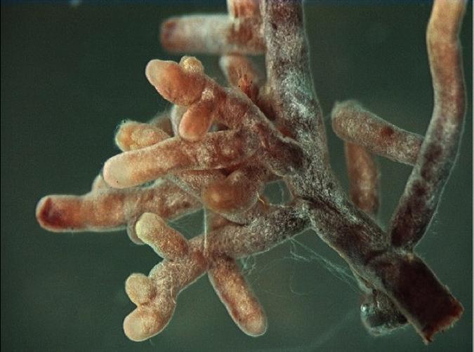 Ectomycorrhizal mante