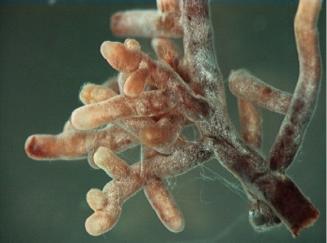 Ectomycorrhizal fungi colonizing fine roots