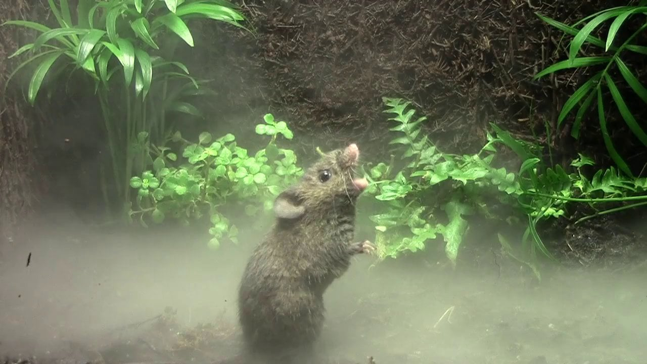 A singing mouse trills in the cloud forest, declaring its presence. Photo: Bret Pasch