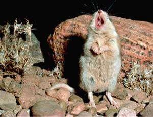 A grasshopper mouse howls in the desert evening. credit NewScientist.com