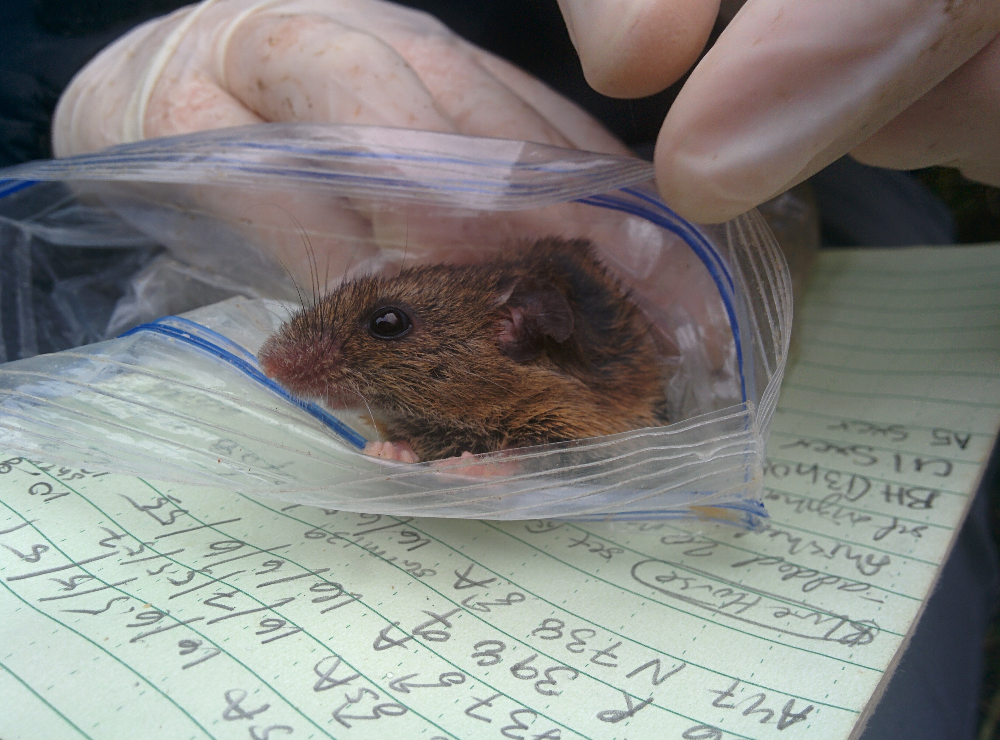 A harvest mouse pokes its nose out of a Ziploc bag. This mouse was caught in the mountains of Costa Rica. Photo: Tracy Burkhard