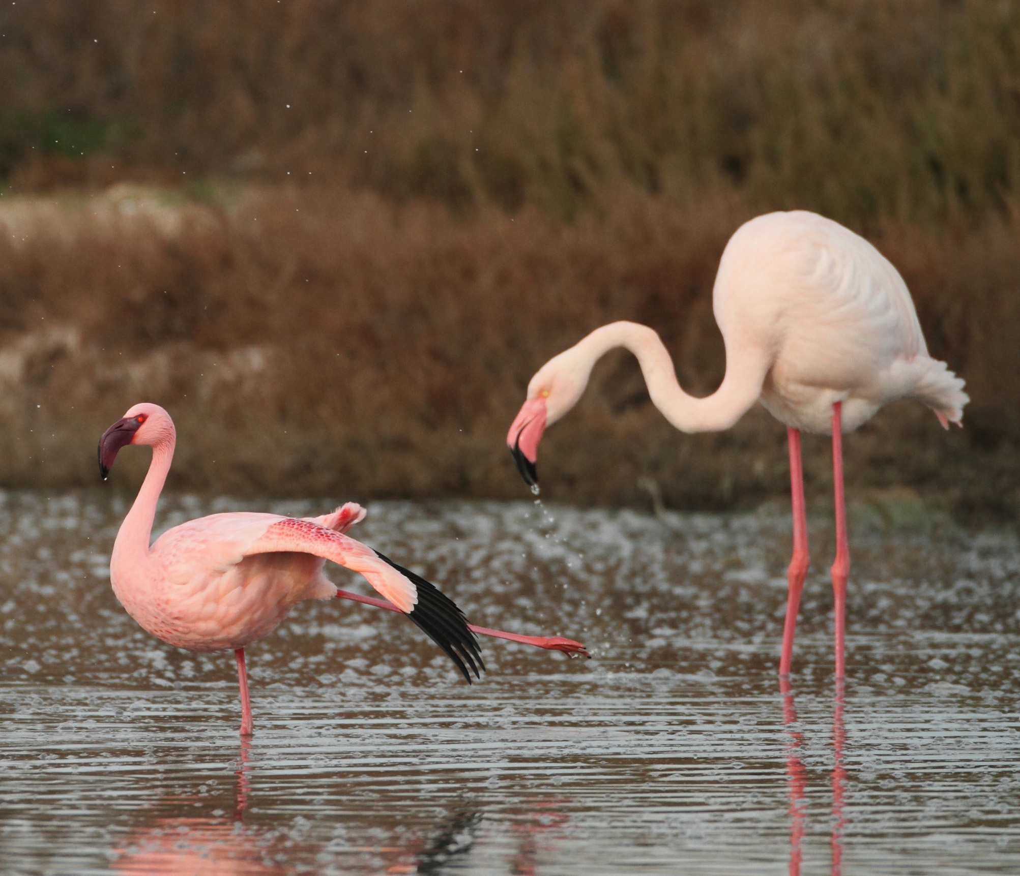 Two species of flamingo on a lake in Africa (Torres et al., 2014)