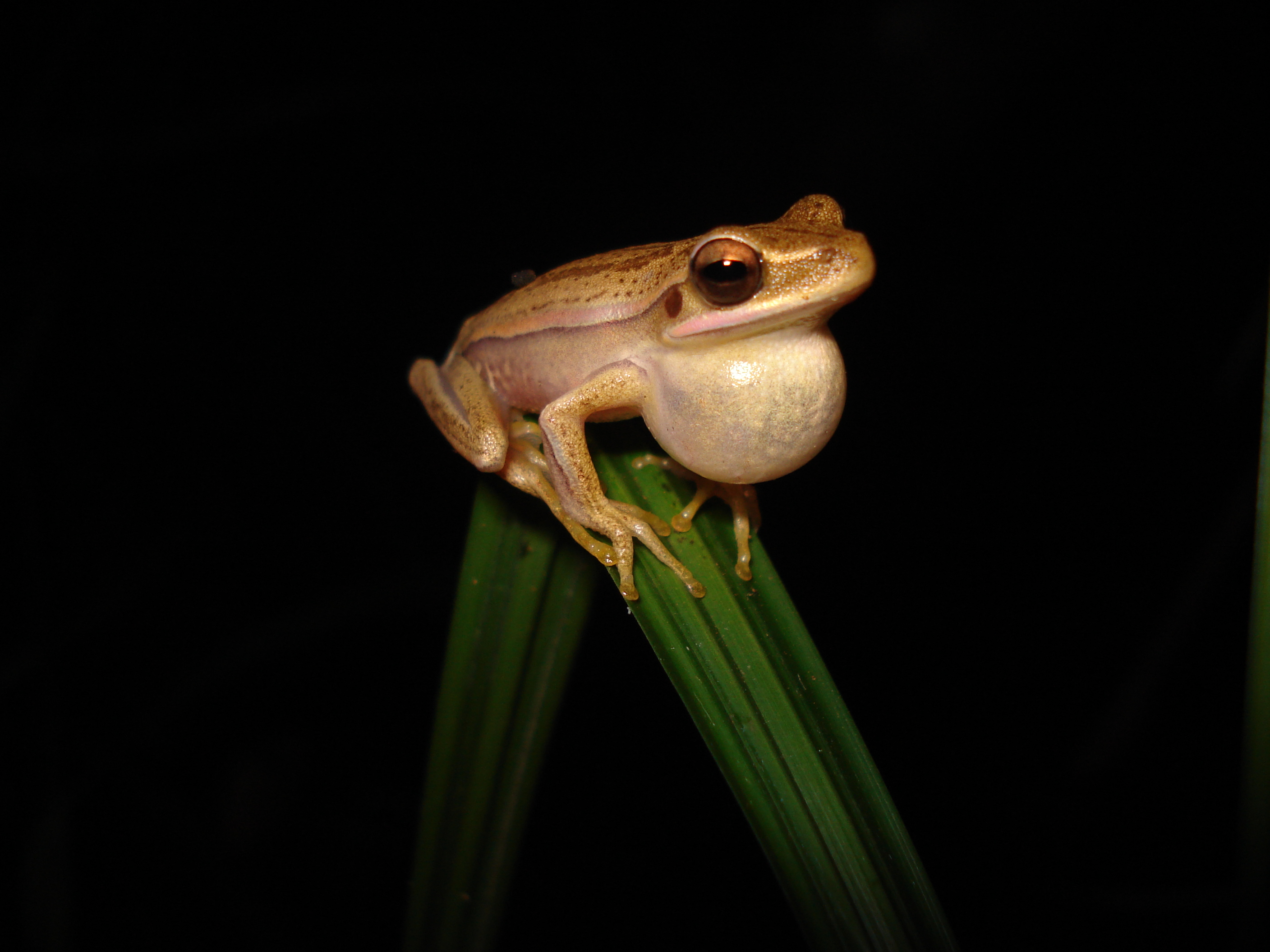 South American Golden striped tree frog trying to attract a female. Photo: D. Correa