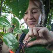 Megan O'Connell collecting fruits from a Miconia affinis tree in Panama. credit: Leonardo Simmons