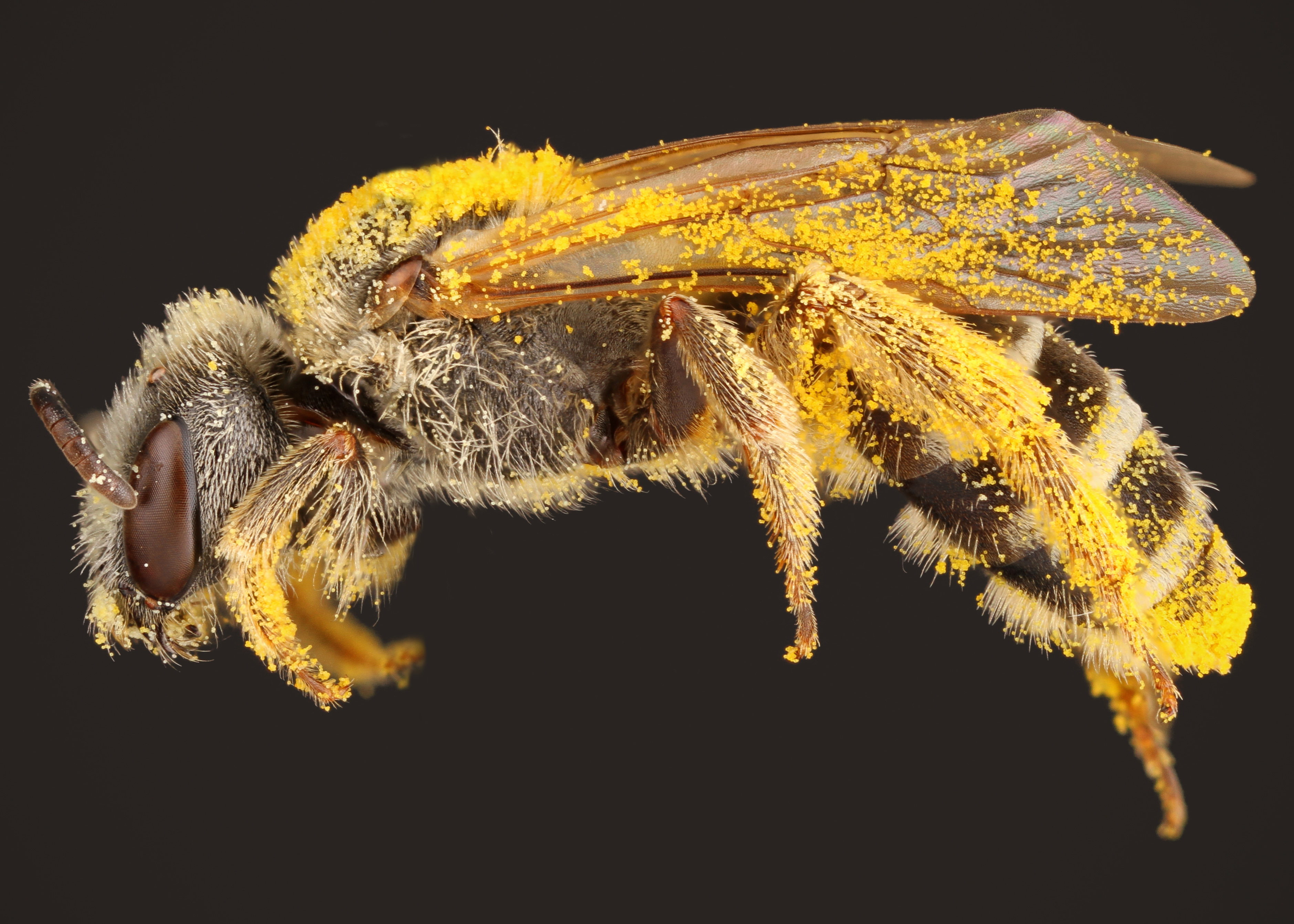 A Sweat Bee native to Texas covered in pollen. credit: Alejandro Santillana, Insects Unlocked