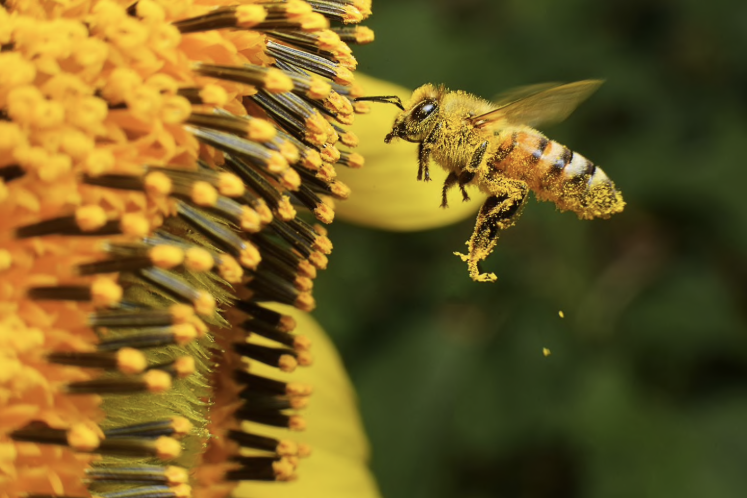 Bees see more than we can! Credit: iStock