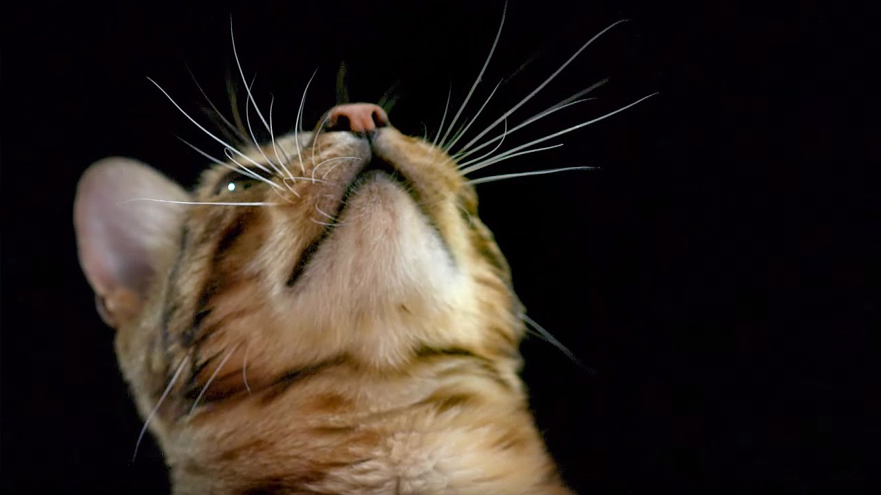 Cat whiskers are incredibly sensitive. Credit: BBC Earth