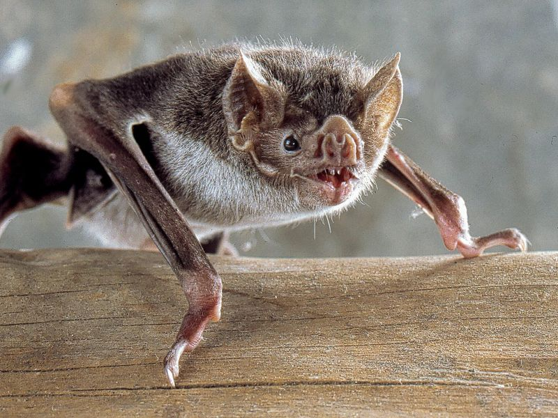Bats use sonar to see. Credit: Uwe Schmidt