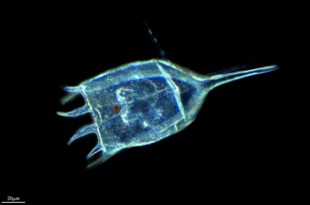 Keratella, a tiny animal shaped like a torch. Wikimedia Commons.