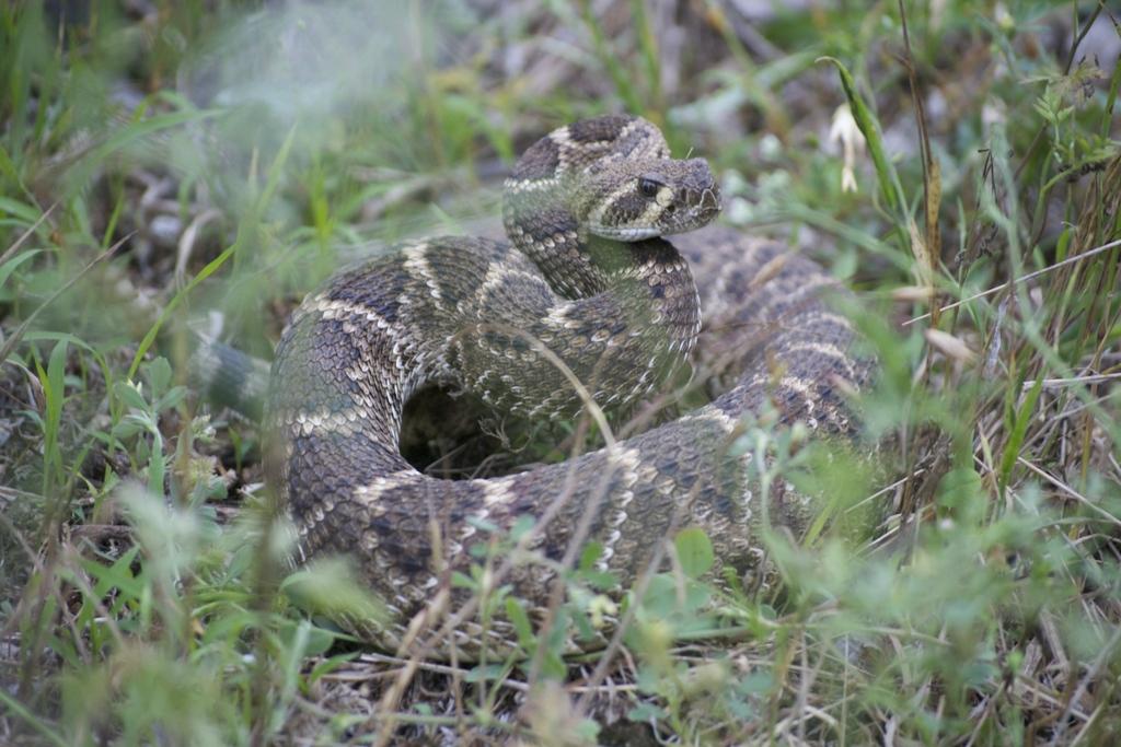 Western Diamond-backed Rattlesnake. Photo by Thom Marshall