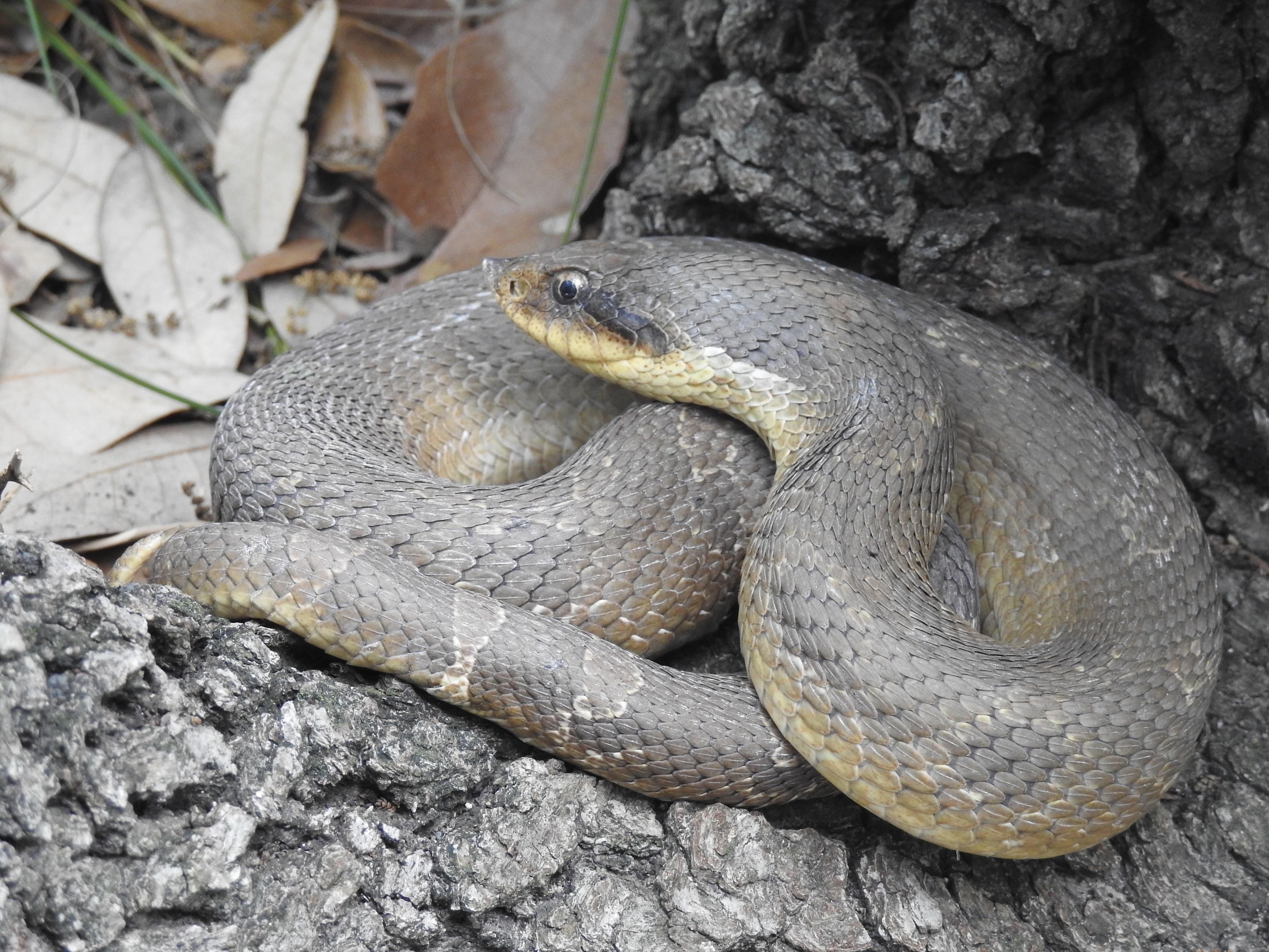Eastern Hog-nosed Snake. Photo by Madison Torres.