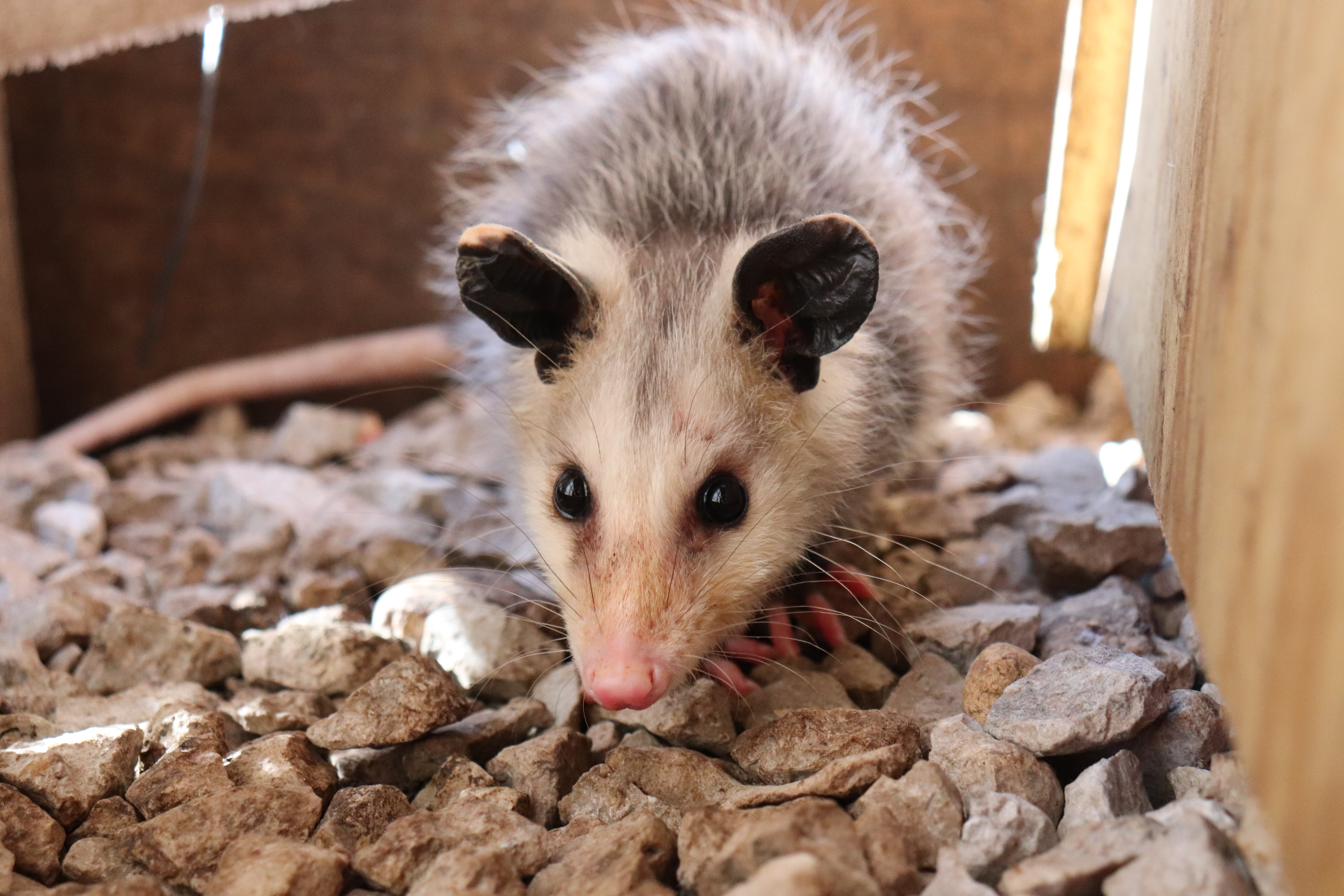 This is a stock photo of a young opossum (Didelphis virginiana), a common-urban dwelling mammal! Photo: Mikell Darling on Unsplash